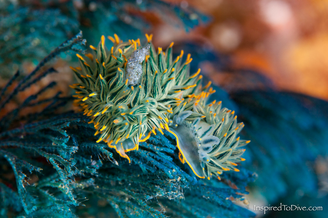 Nudibranchs Blue Janolus (Janolus mokohinau) at the Poor Knights Islands