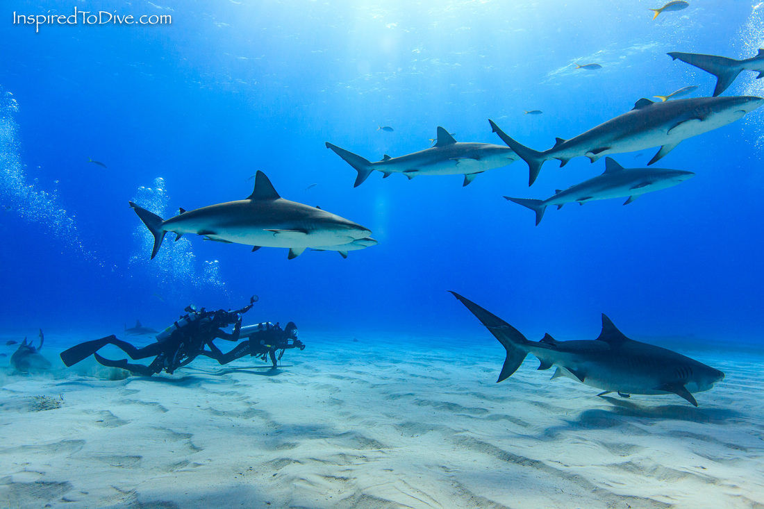 Picture of underwater photographers with sharks at Tiger Beach in the Bahamas