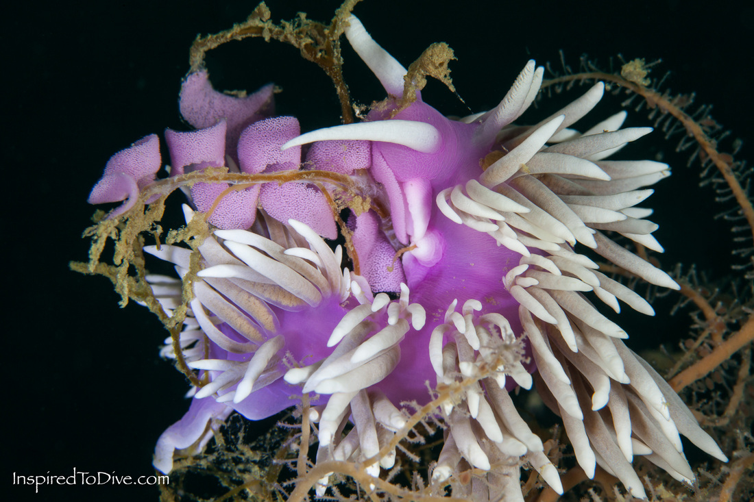 Jason mirabilis nudibranch in New Zealand