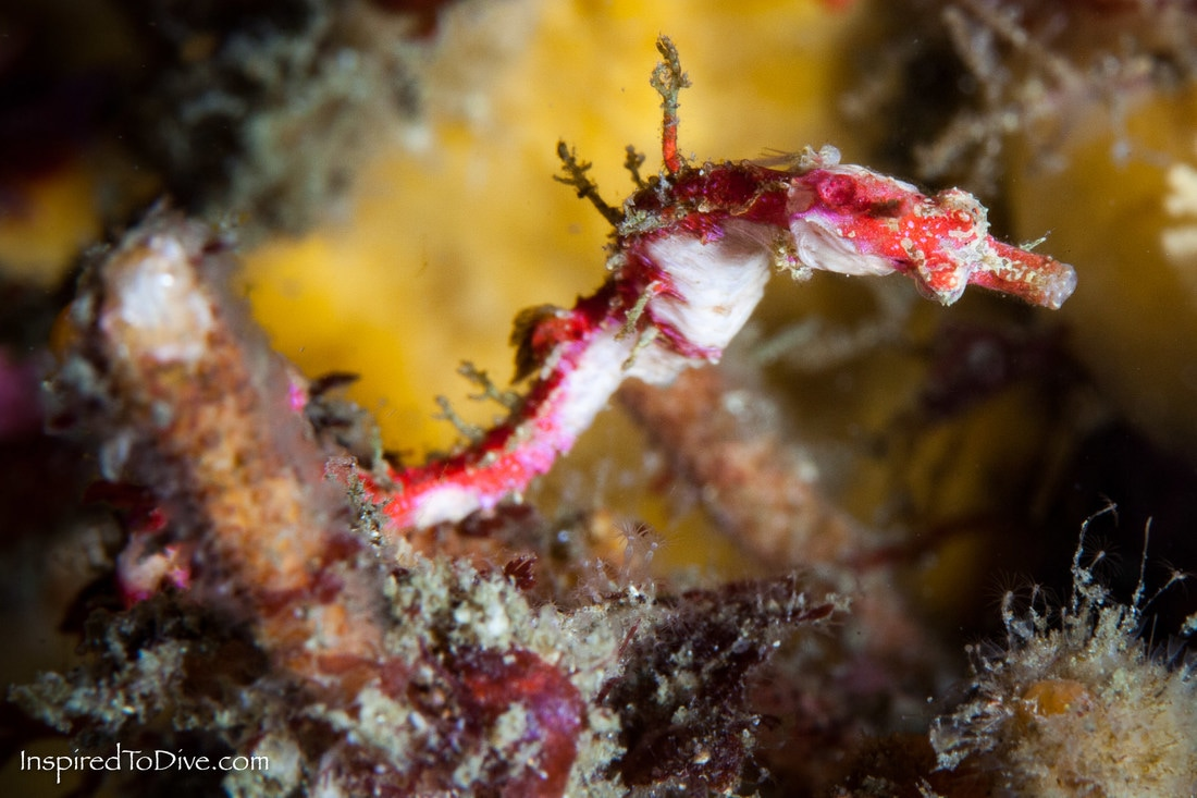 A pygmy pipehorse Acentronura australe is discovered in New Zealand