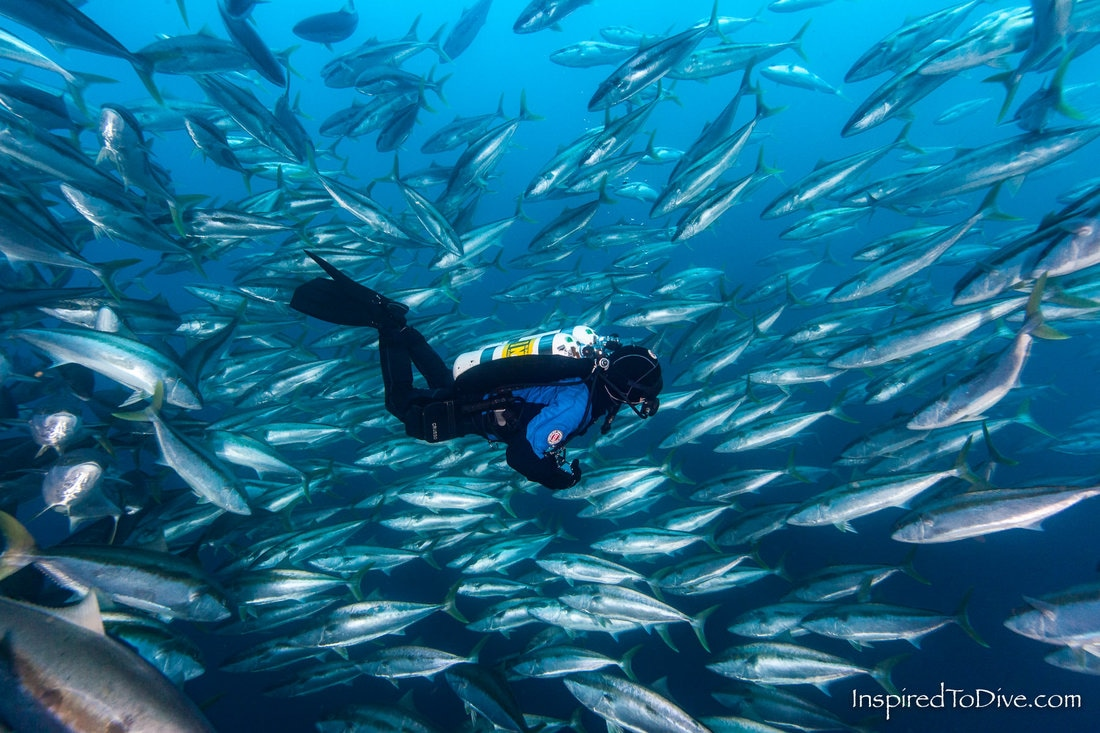 School of kingfish (Seriola lalandi) surrounds a scuba diver in New Zealand