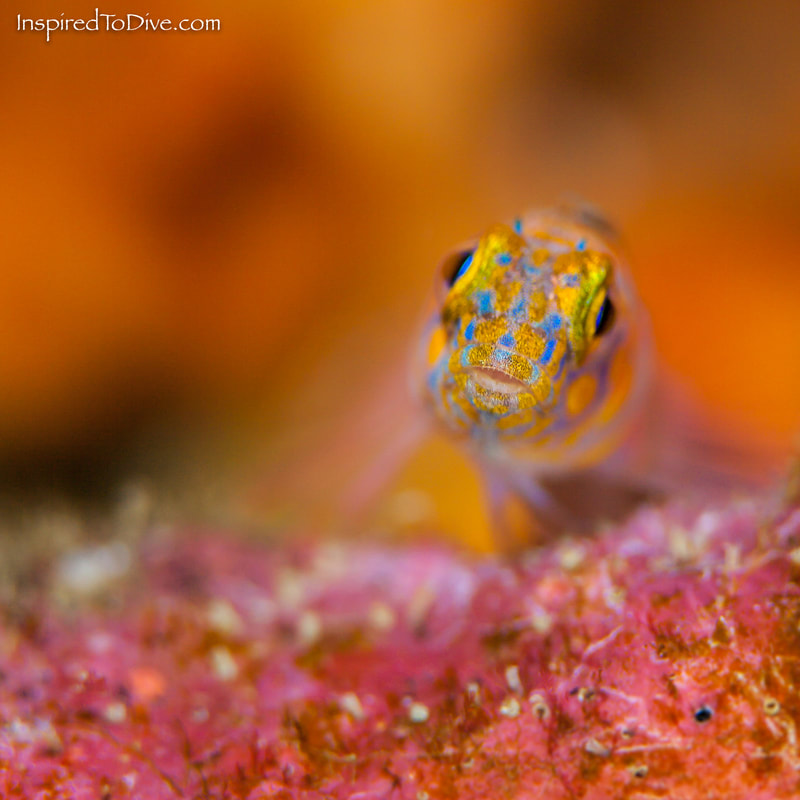 A small and shy triplefin in New Zealand