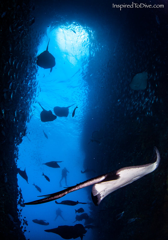 Short-tailed stingrays gathering in large numbers at Northern Arch at the Poor Knights Islands in New Zealand