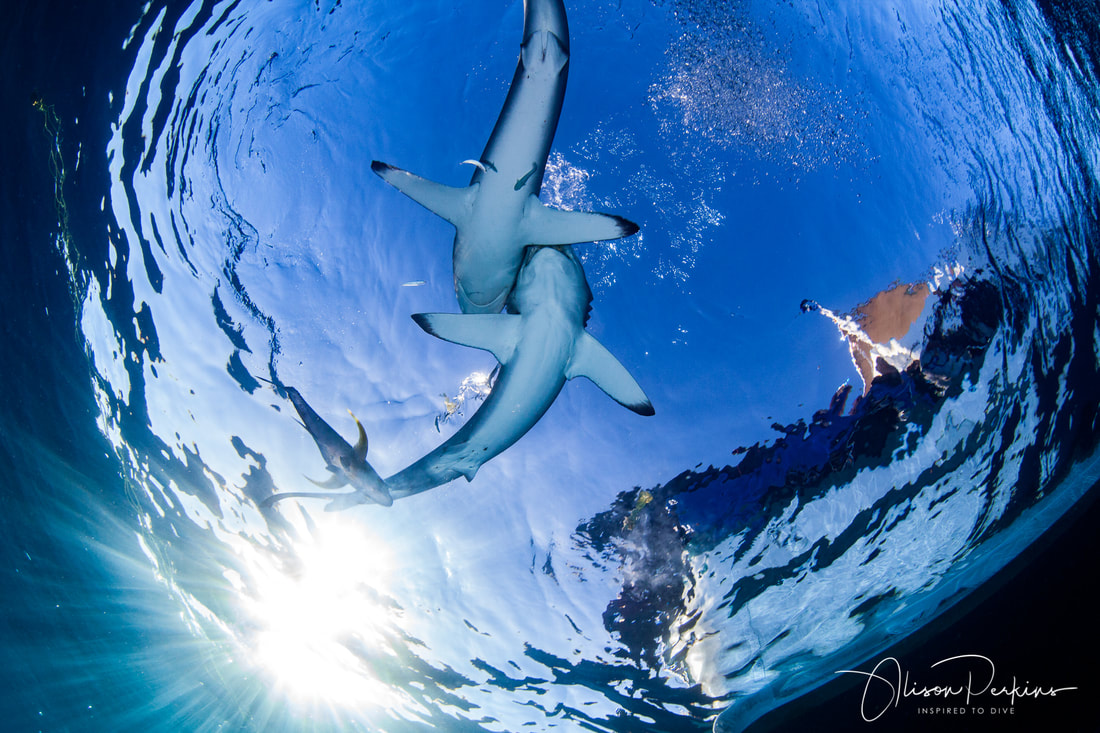 Silky sharks (Carcharhinus falciformis) off the back of our boat