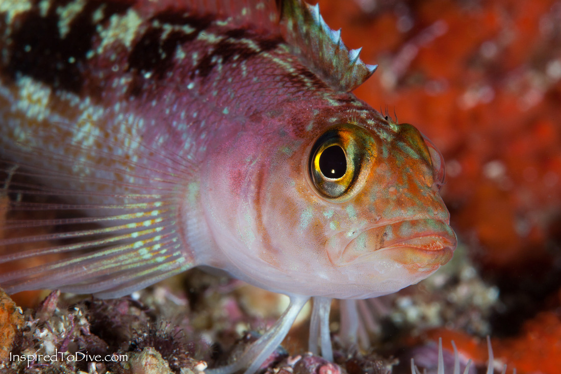 New Zealand marine life variable triplefin (Forsterygion varium) in the Bay of Islands