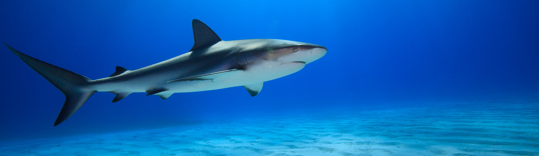 Beautiful photo of a Caribbean reef shark (Carcharhinus perezi) in the Bahamas