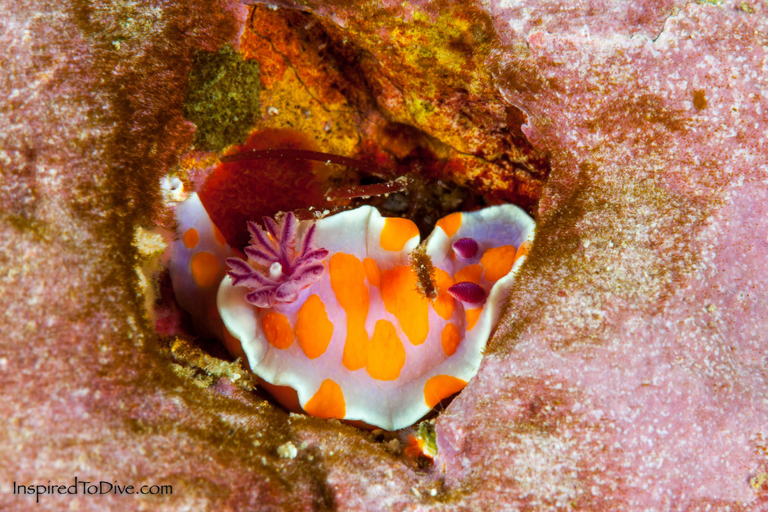 Ceratosoma amoenum (Clown nudibranch) at the Poor Knights Islands in New Zealand