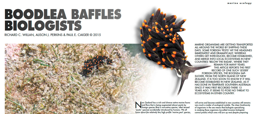 Boodlea baffles biologists (Sportdiving Magazine) - sea slug Ercolania boodleae is discovered in New Zealand