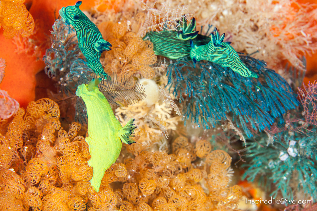 Nudibranchs Fine-lined Tambja (Tambja tenuilineata) at the Poor Knights Islands