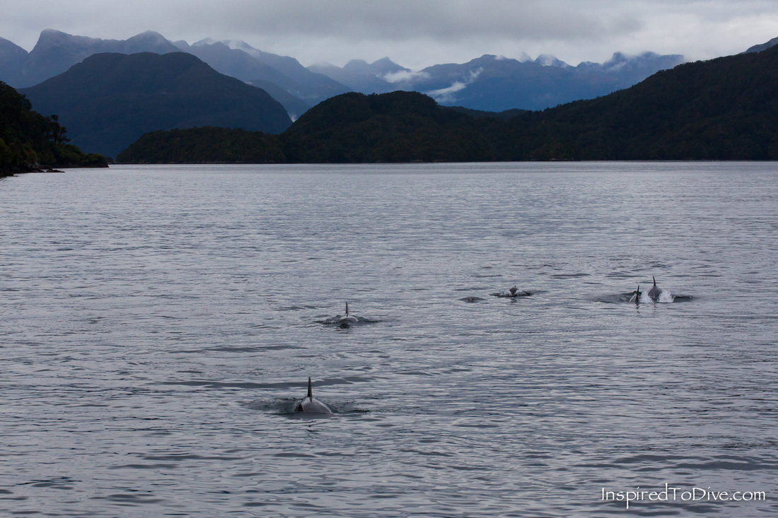 Dolphins surfacing for a breath in Fiordland in New Zealand