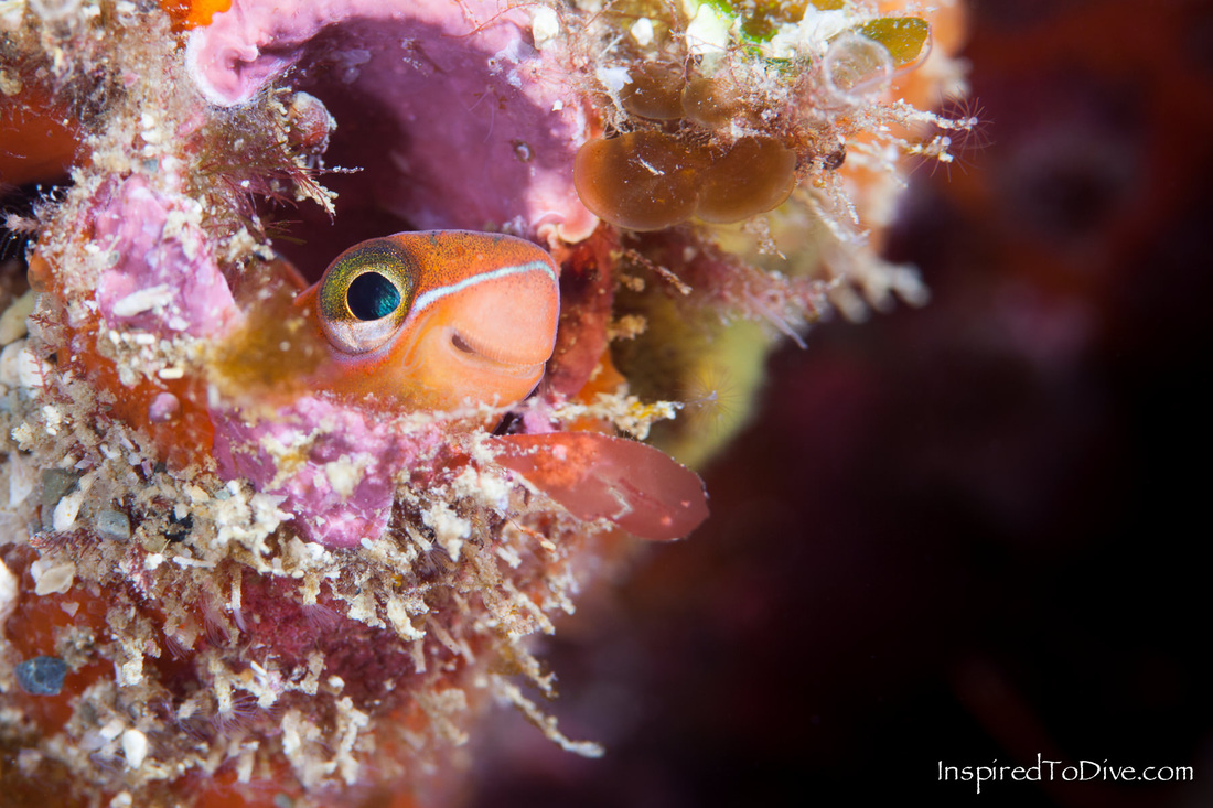 Mimic blenny (Plagiotremus tapeinosoma) fish on the reef in New Zealand