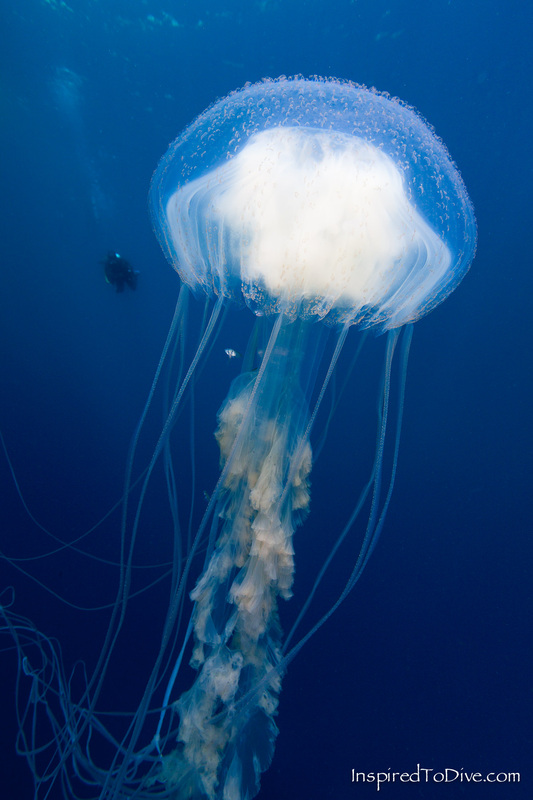 Jellyfish with scuba diver in the background